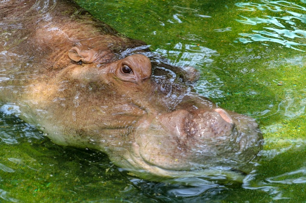 Hippo sleep in water and open eye at thailand