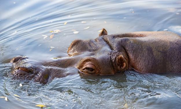 カバは湖のクローズアップで泳ぐ