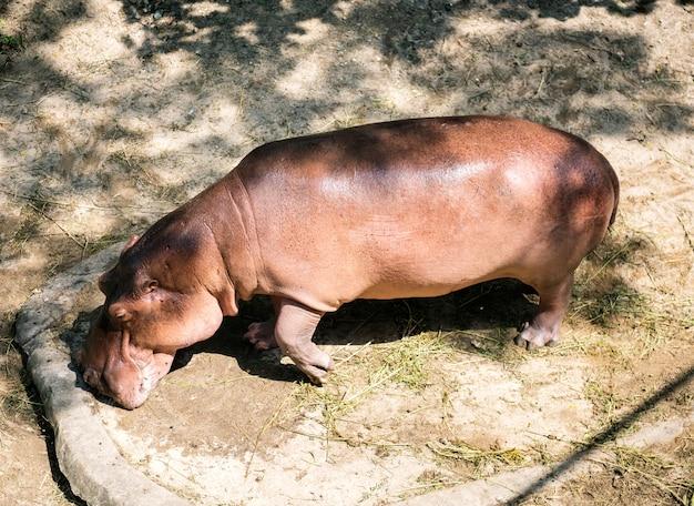 Бегемот в зоопарке на открытом воздухе