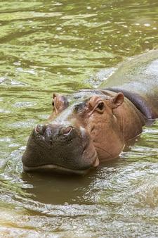 Hippopotamus floating in water