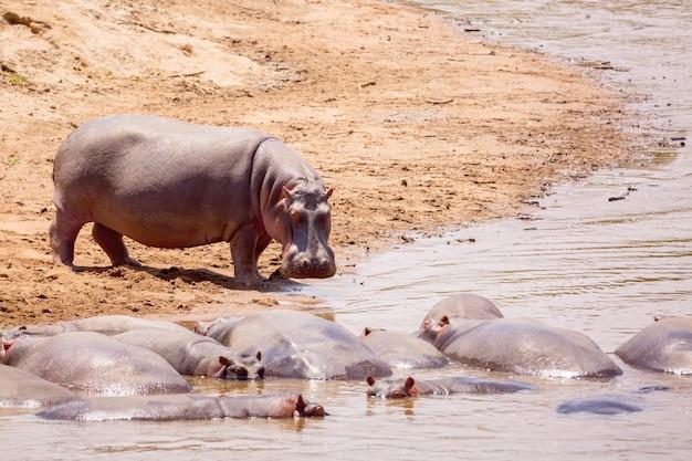 ケニアのマサイマラ国立公園のマサイ川のカバ。