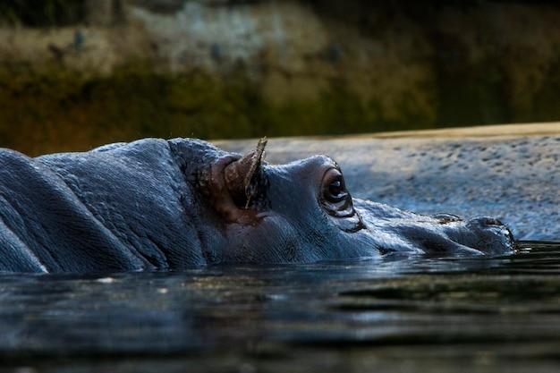 水中のカバ、ベルリン動物園、野生動物の生活