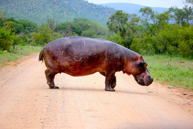 Hippopotamus in the middle of the road