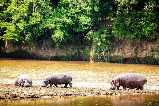 アフリカ、ケニアのマサイマラ国立公園のマサイ川近くのカバ。野生動物。