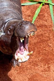 Бегемот свинья, hexaprotodon liberiensis