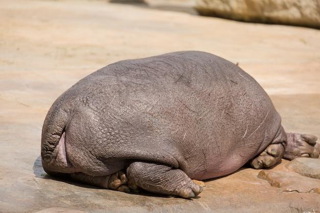 Hippopotamus resting and sleeping