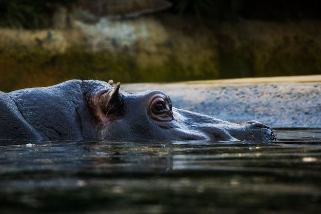 Hippopotamus in the water, berlin zoo, wild animal life