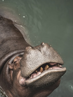 A hippopotamus in the water