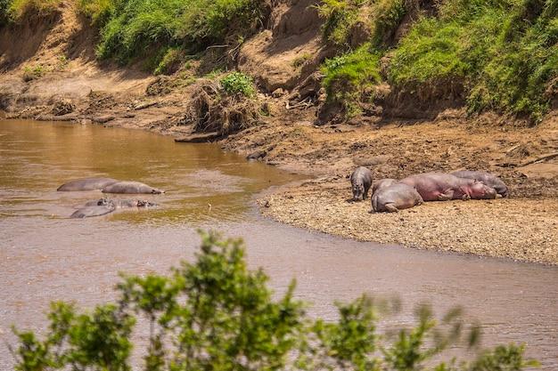 Бегемоты в национальном парке масаи мара, дикие животные в саванне. кения, африка