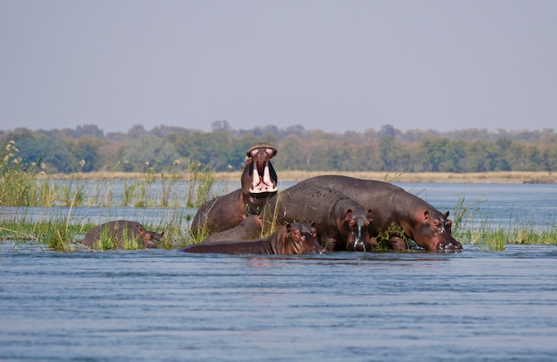 Lower zambezi의 하마