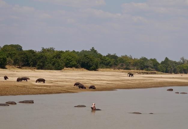 ザンビア南ルアングワ国立公園のカバ