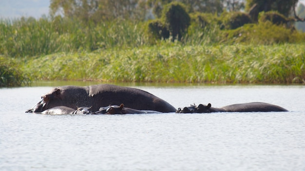 Hippothamus living in the wild in tana lake, ethiopia
