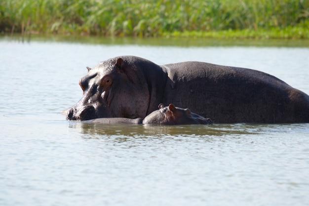 Hippothamus living in the wild in tana lake, ethiopia