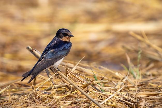 ツバメ鳥(hirundo rustica)の画像。鳥。動物。