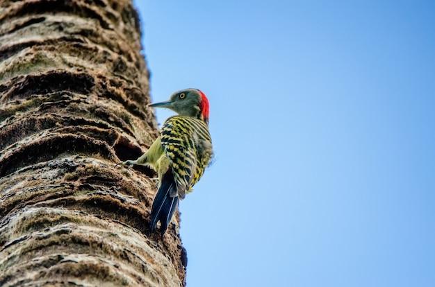 Hispaniolan woodpecker on palm trunk