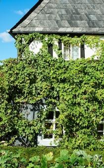 Историческое здание, крупным планом на стене, заросшей виноградной лозой