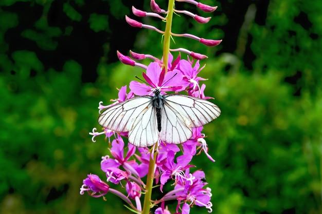 ピンクの花のヤナギランから蜜を食べる蝶をハイト
