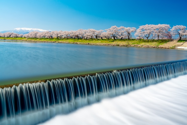 Hitome senbonzakua in japan, a lot of cherry blossoms tree with snow covered zao mountain in background along the shiroishi river in funaoka castle ruin park at sendai, tohoku, japan.