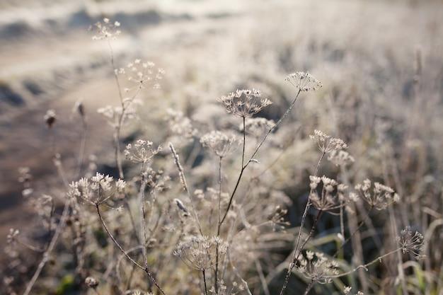 牧草地の乾いた草の霜。秋の田舎の牧草地の最初の霜。