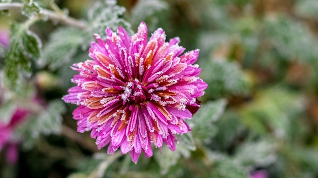 背景がぼやけたピンクの菊の花びらの霜