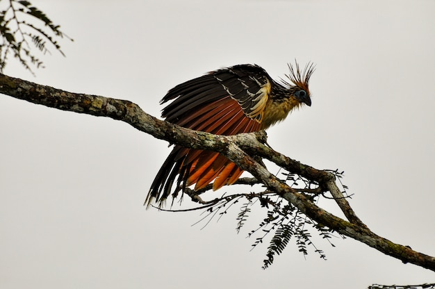 Hoatzin on branch