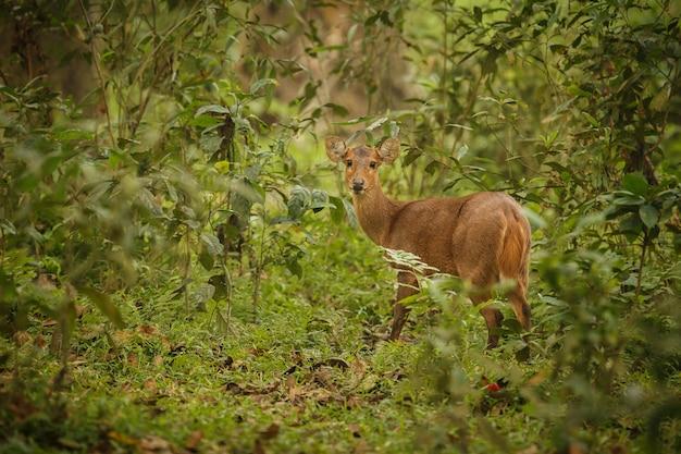 아삼의 카지랑가 국립공원 숲의 돼지 사슴