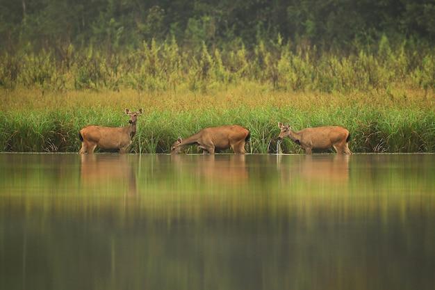 プーキィアオ野生生物保護区の貯水池にいる豚の鹿。