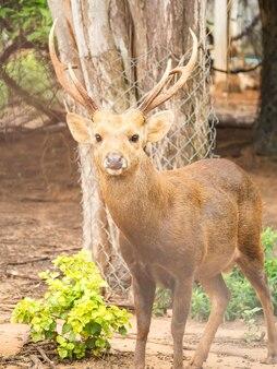 豚の鹿。野生動物。