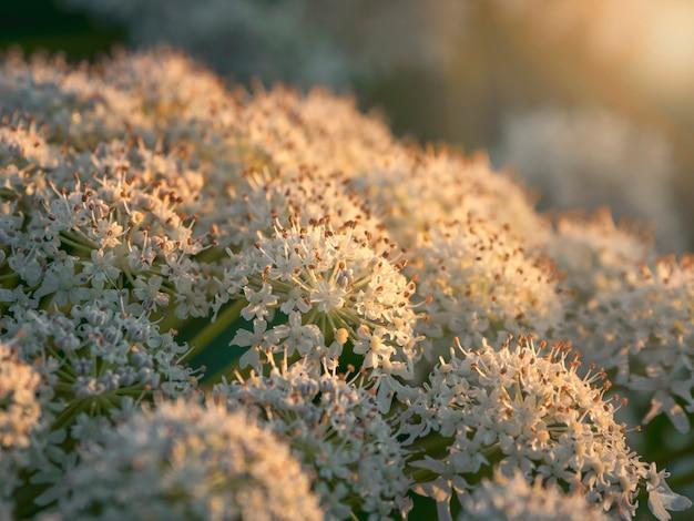 Цветы борщевика растет в вечернем поле, крупным планом