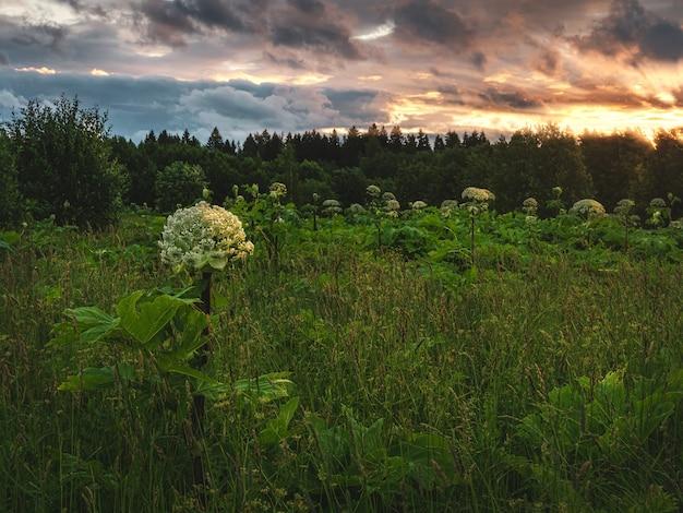 ホグウィードは夕方の畑で育ちます。フィールドのある夜の風景