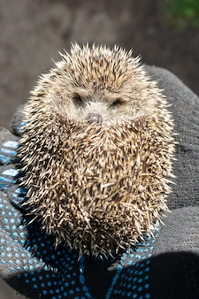 Holds a small hedgehog in gloves. on a green bokeh background. wildlife, spiny thorns of a hedgehog in the hands of a guy, holding him in gloves