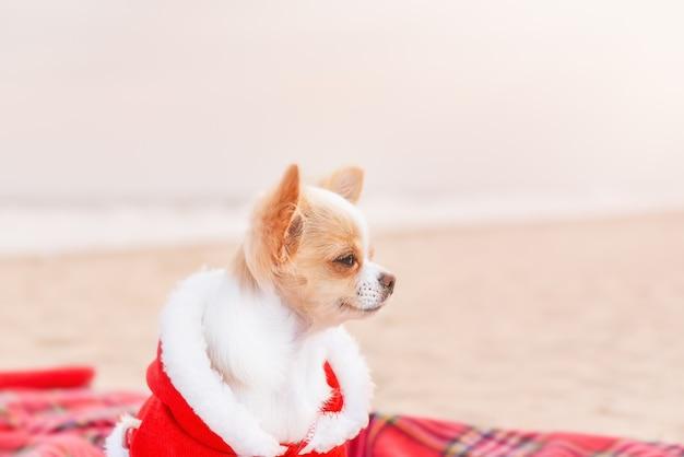 正月とクリスマスの海沿いの休日。砂の毛布にサンタの服を着たチワワ犬。