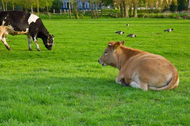 緑の芝生の芝生で休んでいるオランダの牛