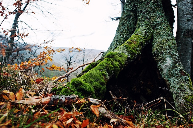 Hollow of tree, covered on moss at autumn forest on mountains.