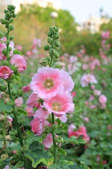 Hollyhock flower in a garden. pink flower of hollyhock closeup on green blur background
