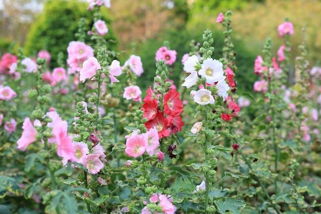 Цветок мальвы в саду. красный розовый цветок мальвы крупным планом на зеленом фоне размытия