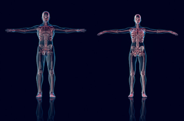 Hologram man,hologram female anatomy and skeleton,3d rendering
