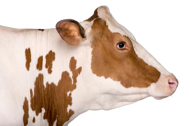 立っているホルスタイン種雌牛