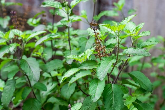 홀리 바질 허브 약용 식물은 선별적인 초점으로 정원에 가까이 있습니다