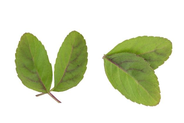 聖なるバジルまたは聖なるバジルの葉は、クリッピングパスで白い背景に分離されました。上面図、フラットレイ。
