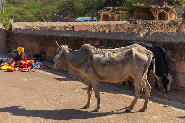 インドの貧しい地区、ラジャスタン、ジャイプールの聖なる牛。