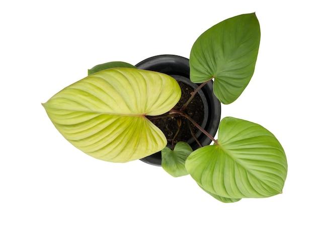 Homalomen rubescens (roxb.) kunth растение с красивым листом в форме сердца в черном цветочном горшке, изолированном на белом, включает обтравочный контур, вид сверху