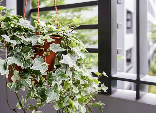 バルコニーにある鉢植えの英国のアイビープラントの家と庭のコンセプト