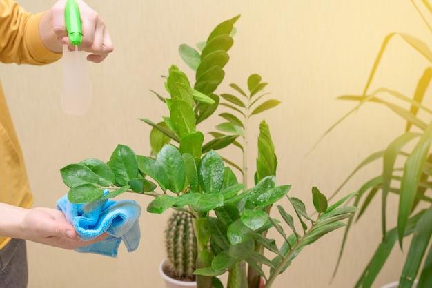 관엽 식물을 돌보고 스프레이 건으로 집 꽃을 뿌리십시오. 여자가 잎사귀를 닦고 씻고 돌본다.