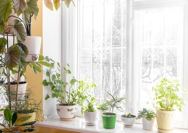 화창한 겨울 날 창가와 창턱에 다양한 녹색 화분이 있는 집의 아늑한 인테리어입니다. 아늑하고 지속 가능한 취미. 트렌디한 홈 가드닝. 집에서 자연 트렌드. 텍스트를 위한 공간을 복사합니다.