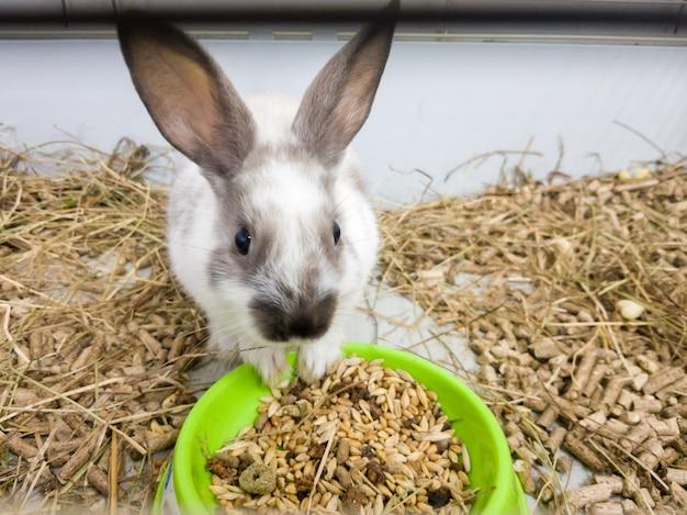 회백색의 회색 새장에 있는 집 장식용 토끼. 토끼는 녹색 그릇에서 먹습니다. 귀엽고 푹신한 설치류 애완 동물의 사진 시리즈. 작은 부활절 휴일 기호, 부활절 토끼