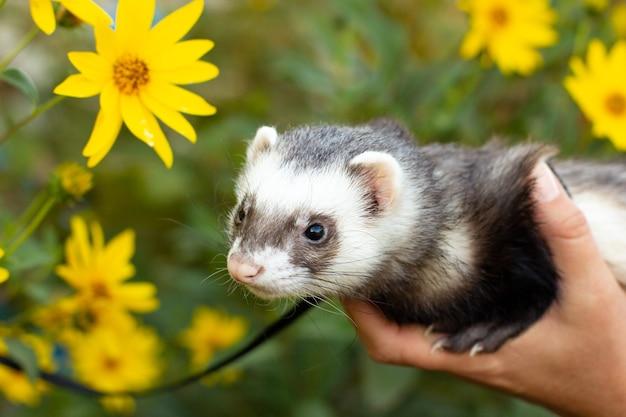 Home ferret outside with dendelion flower