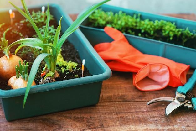 냄비에 묘목에서 집 정원 관리. 창가에서 자라는 녹색, 정원 채소에 물을주고 자르기