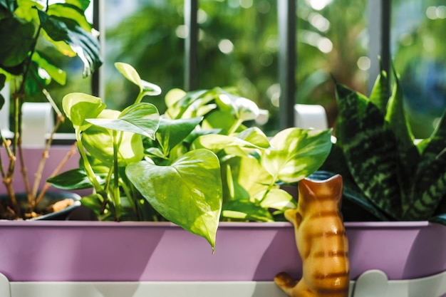 Home and garden concept of golden pothos and snake plant in violet flower pot with sunligh