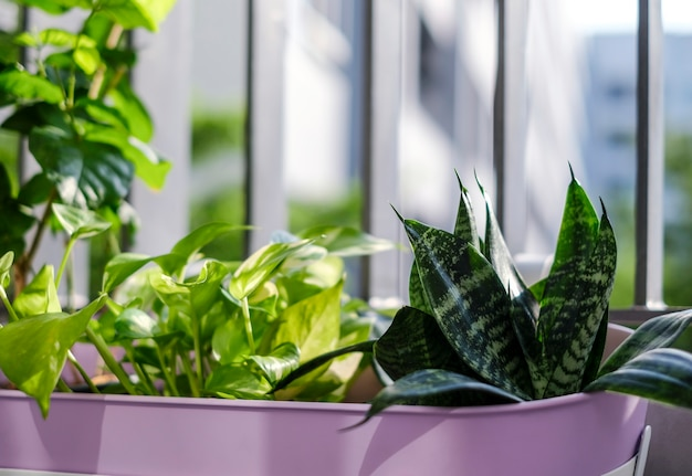 Home and garden concept of golden pothos and snake plant in violet flower pot